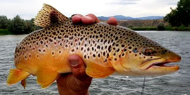 Brown Trout on the Colorado River