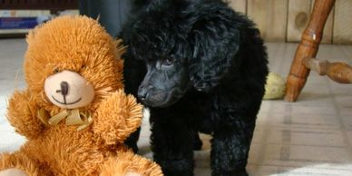 Black Moyen poodle puppy looking at teddy bear on the ​floor.