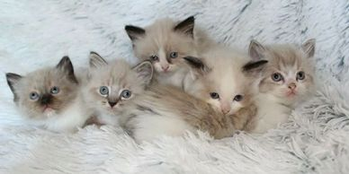 Five ragdoll kittens laying together on a ​blanket.