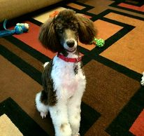 Moyen poodle sitting on a geometric patterned rug.