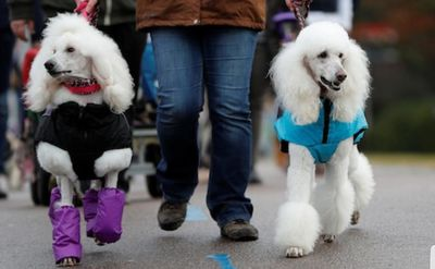Person walking two adult white poodles.