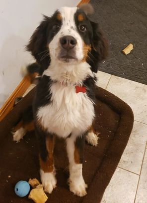 Kozmo, Bernese Mountain Dog. Looking for a Guardian Home.
