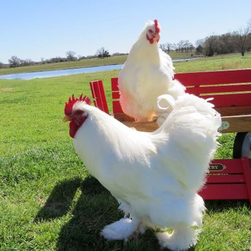 Chickens for Sale in College Station - Bird and Bee Farm
