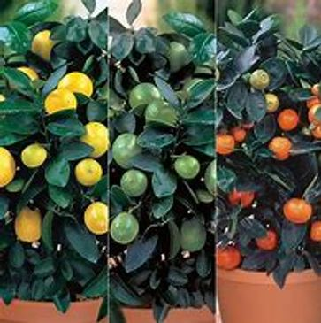 Locally grown citrus and fruit are a good way to add flavor to your living space