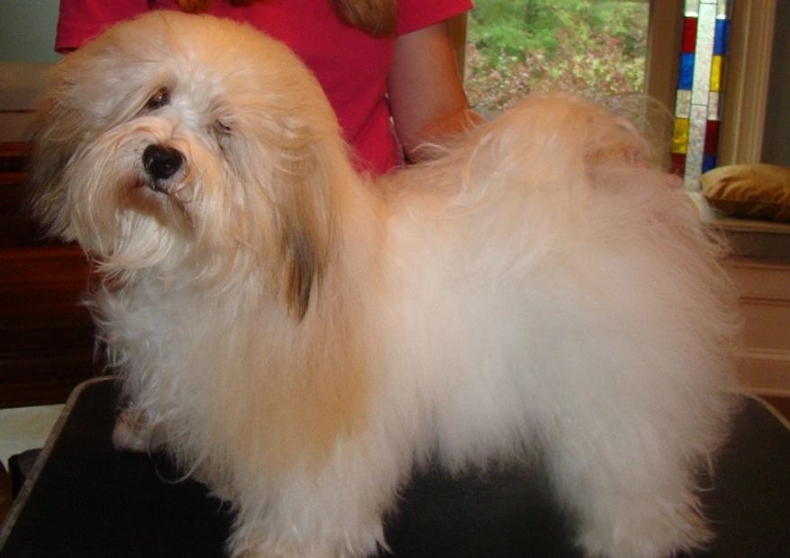 Rambler is a beautiful gold and white boy who came to us from Connie Lewis of Nirvana Havanese. He h