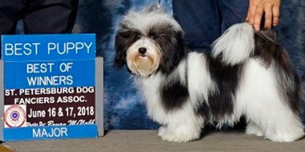 Windyhill Havanese - Havanese Puppies - Atlanta, Georgia