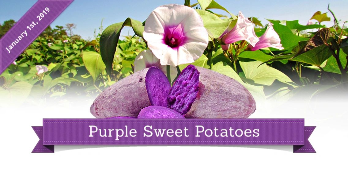 Purple Sweet Potato Blue Sky Farms of Florida Photographer, Designer Kate Alfonso