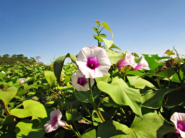 Blue Sky Farms of Florida Potato Farm Purple Sweet Potatoes Photographer: Kate Alfonso