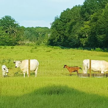 Farming methods, beyond organic, remineralized, ancient white park, oberhasli goats, nutrient dense