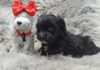 Available black male maltipoo