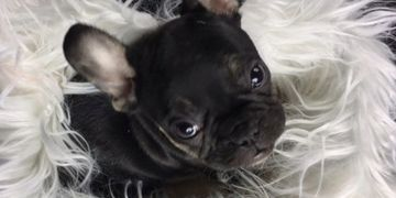 Available French Bulldog puppies from Manitoba Canada serving Winnipeg and all other Canadian cities