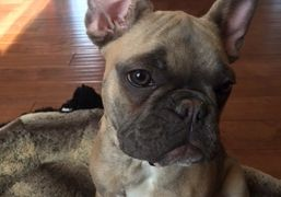 Our french Bulldog females are of the highest quality. We serve families in manitoba & winnipeg.