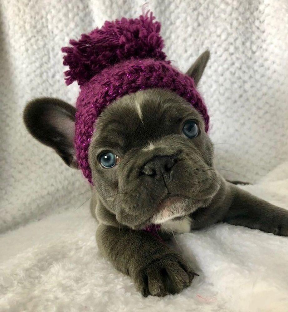 French Bulldog Arctic Dream Frenchies