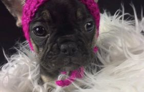 Available French Bulldog puppies. We provide Puppies to families in Winnipeg and all over  Manitoba