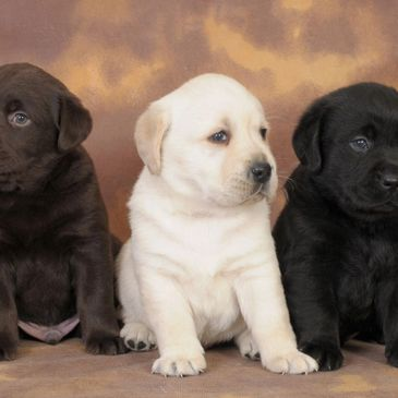 Black Yellow Chocolate Pointing Labrador Puppies for sale