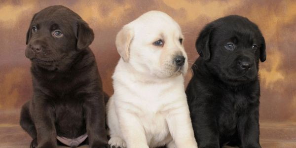 Health Tested Pointing Labrador Puppies For Sale