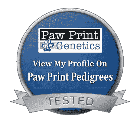 Health Tested Pointing Labradors