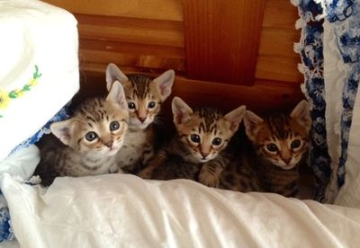 Kittens are raised in my home one litter at a time.  I provide vaccinations, worming and well-check.