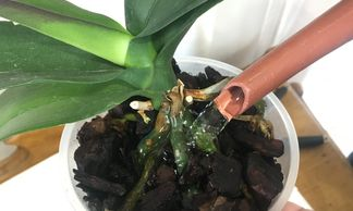 How to care for your orchid, how to water your orchid