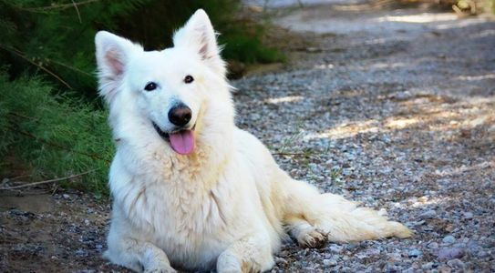 Long coat white female German Shepherd