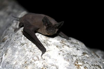 Mexican free tailed bat is a migratory native of Washington.