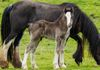 Mama and Gypsy Vanner Colt