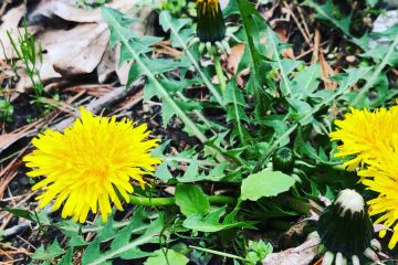 A dandelion plant on the leaf covered ground with three yellow flowers open and one closed