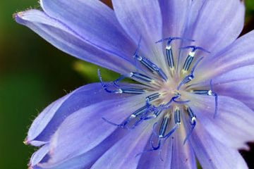 A close up of a chicory flower.  The petals are blue-purple in color.