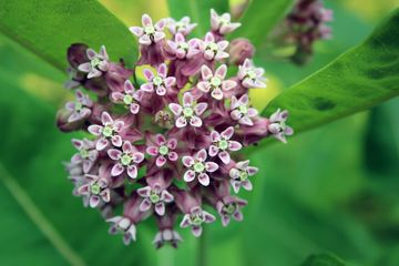 Milkweed flowers open on a green background.