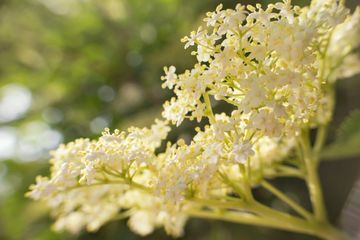 The umbel of an elder plant with open flowers. Elderflowers in diffuse sunlight.