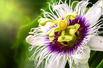 A passionflower open with a green background