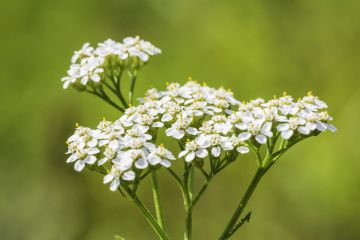 A yarrow plant with tiny white flowers