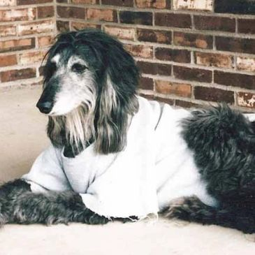 Morgan post heart surgery for Canine Pericardial Mesothelioma.