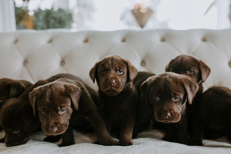 Labrador Retriever Puppies Labrador Retriever Puppies