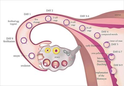 ovulation, fertility, infertility, ovarian follicles, ovarian cyst, pregnancy, London, ultrasound