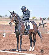 Dressage or Eventing horse for sale in New Mexico