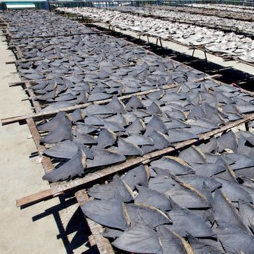 shark finning, shrark fins drying