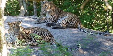 Two leopards resting in the shade on a large rock in Yala National Park, Sri Lanka