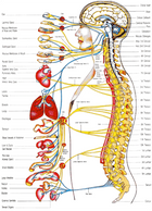 The autonomic nerves come from the brain and spine and control the functions of all the organs (hear