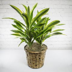 Dracaena Plant in Basket
