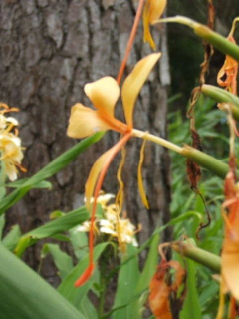 hedychium_anne_bishop_3.jpg