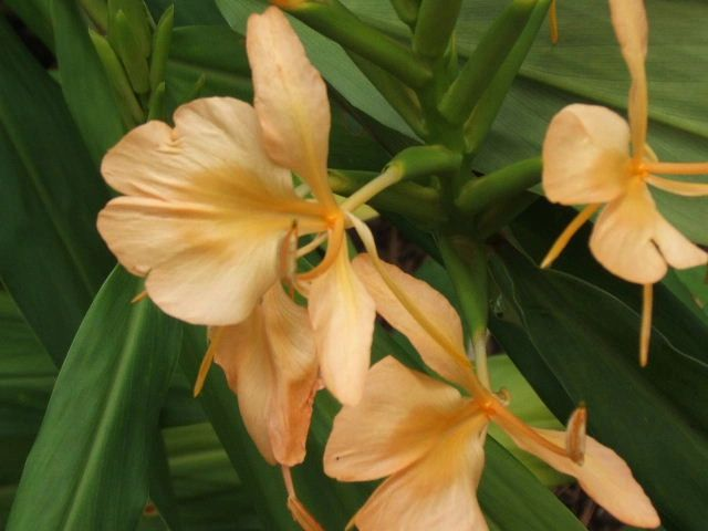 hedychium_double_eagle_7.jpg