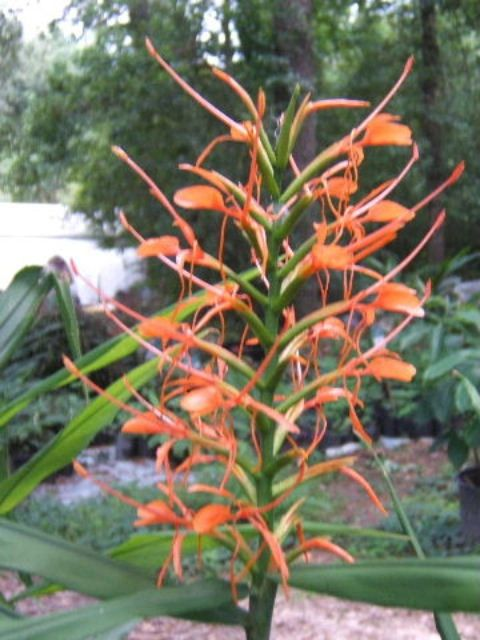 hedychium_orange_from_bulb_mart_c_3.jpg