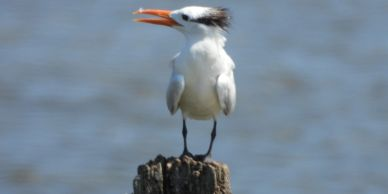 Royal Tern, 08-24-2020 Port Mahon Delaware, Photo by Mike Slater