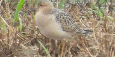 Buff-breasted Sandpiper, 09-01-2020 Maxatawny Twp. Berks County, PA Photo by mike Slater