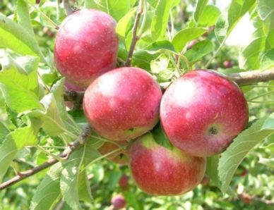 Early to mid October A juicy, red, firm apple that is crunchy and sweet.   Uses:  Eating, salads, sa