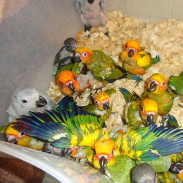 Baby Sun Conures are always available