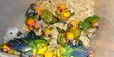 Baby Sun Conures are always available at $200 each if five or more are taken each time, otherwise $300 each