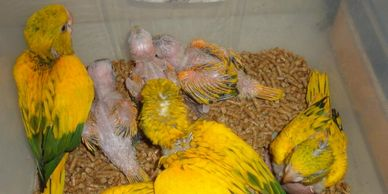 Baby Queen of Bavaria (Golden) Conures are $3,000 each. Endangered Species, therefore Florida sales only