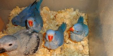 BABY VIOLET INDIAN RINGNECKS ARE $750 EACH